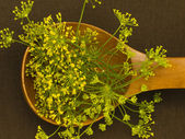 Fennel flowers spice in the spoon — Stock Photo