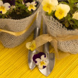 Fresh viola flowers in the pots with shovels — Stock fotografie
