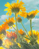 Zonnebloemen — Stockfoto