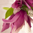 Stock Photo: Magnolia flower