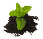 Mentha plant on the soil isolated — Stock Photo