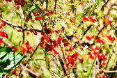 Red currant bush — Stock fotografie