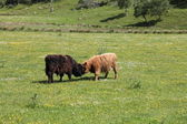 Typical Scottish cows in a field — Stock Photo