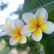 Royalty-Free Stock Photo: Plumeria (frangipani)