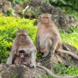 Monkey family (Macaca fascicularis) at khao wang ,Petchburi Thai — Stockfoto
