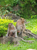 Monkey family (Macaca fascicularis) at khao wang ,Petchburi Thai — Stock Photo