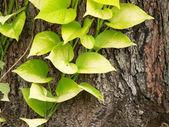 Pothos fogliame su corteccia d'albero — Foto Stock