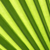 Green palm leaf colse-up — Stock Photo