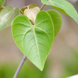 Green leaf heart shape — Stock Photo