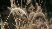 The flower of grass in evening time — Stock Photo