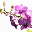 Pink purple dendrobium orchid flower on white background — Stockfoto