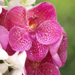 Closeup of red dendrobium orchid outdoor - Stock Photo