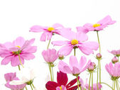 Pink flower of cosmos isolated on white background — Stock Photo