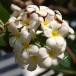 Branch of tropical flowers frangipani (plumeria) — Stock Photo #12187203