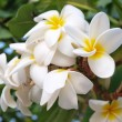 Branch of tropical flowers frangipani (plumeria) — Stock Photo #12188411