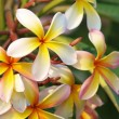 Branch of tropical flowers frangipani (plumeria) — Stock Photo #12188419