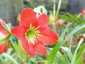 Red Amaryllis Blooms in A park — Stock Photo