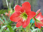 Vibrant red amaryllis flowers — Stock Photo