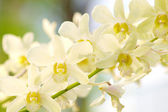 White dendrobium orchid flower — Stock Photo