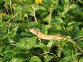 Wild lizard in Thailand close-up — Stock Photo
