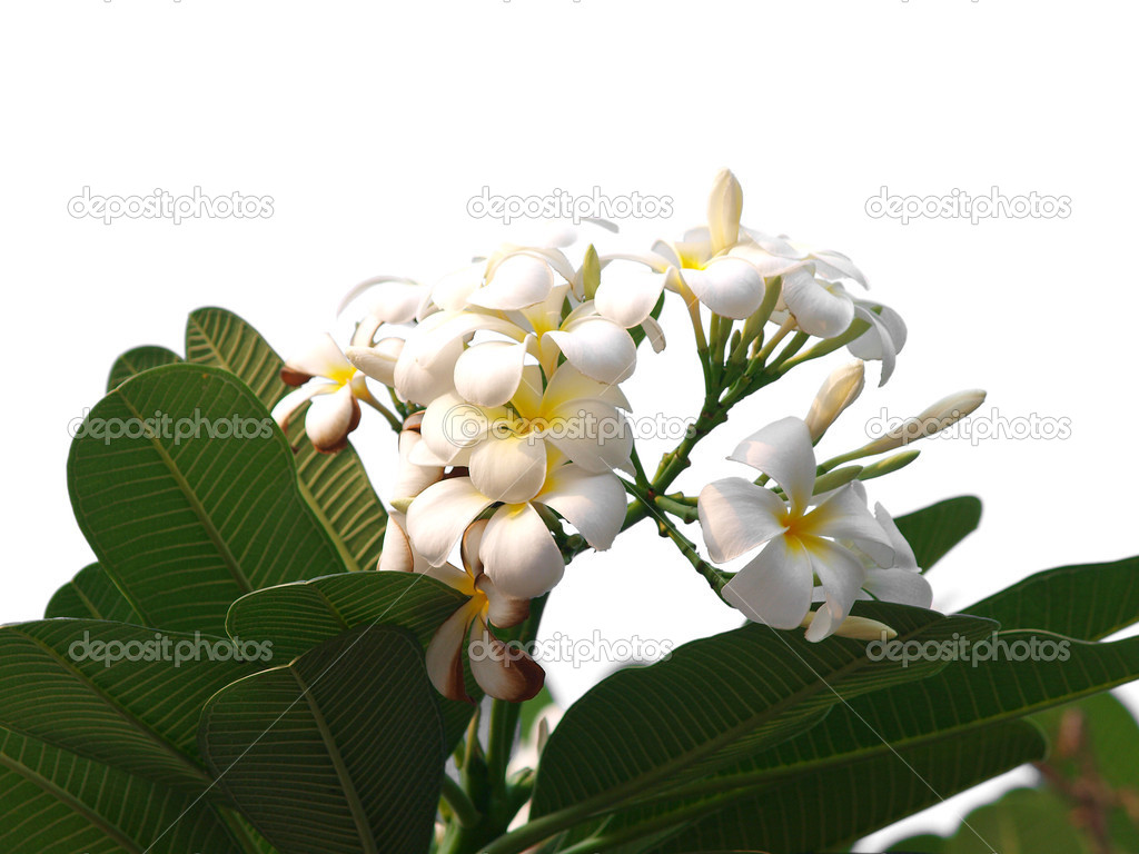 Branch of tropical flowers frangipani (plumeria) — Stock Photo #12186581