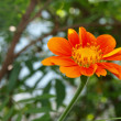 A close up of a Mexican Sunflower - Stock Photo