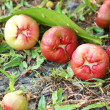 Ross apple fall under the trees — Stock Photo