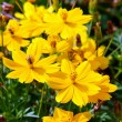 Stock Photo: Beautiful yellow flower (Cosmos)
