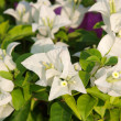 Stock Photo: Image of bright white Bougainvillea