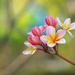 Stock Photo: Branch of tropical flowers frangipani (plumeria)
