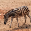 Zebra in dusit zoo,Bangkok Thailand - Stock Photo