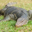 Closeup of monitor lizard - Varanus on green grass focus on the — Stock Photo #12197301