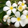 Tropical flowers frangipani (plumeria) - Stock Photo