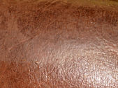 Detail of wet Hippopotamus brown skin — Stock Photo