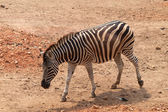 Zebra in dusit zoo,Bangkok Thailand — Stock Photo