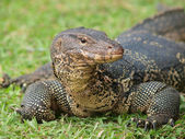 Closeup of monitor lizard - Varanus on green grass focus on the — Stock Photo