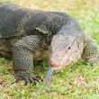 Closeup of monitor lizard - Varanus on green grass focus on the — Stock Photo #12202738