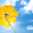 图库照片: Single yellow flower of cosmos with blue sky
