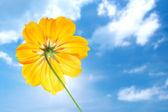 Einzelne gelbe blume des kosmos mit blauer himmel — Stockfoto