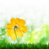 Natural green background and yellow flower of cosmos — Stock Photo