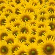 Beautifu Sunflower closeup — Stock Photo