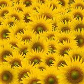 Beautifu Sunflower closeup — Stock Photo