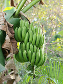 Green Bananas on a tree — Stock Photo