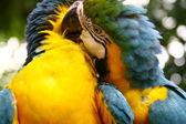 Columbians parrots — Stock Photo