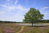 Lonely Tree in Purple Fields of Heather — Stock Photo