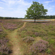 Lonely Tree in Purple Fields of Heather - Stock Photo