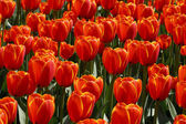 Group of Orange Dutch Tulips — Stock Photo