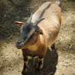 Small Goat — Stock Photo #11219390