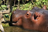 Hippo in water — Stock Photo