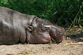 Hippo in de zon — Stockfoto